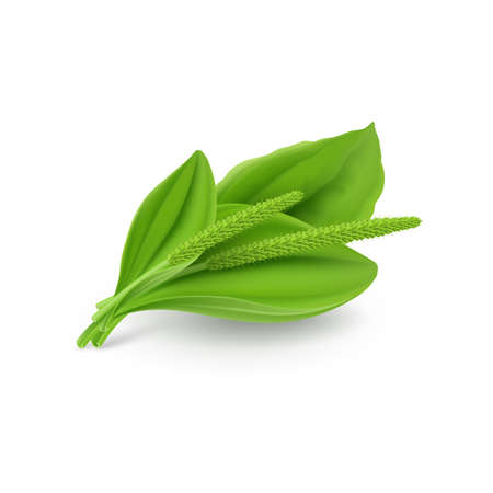 Green leaves of Greater Plantain (Plantago major or Soldiers Herb) Illustration on a White Background Illustration