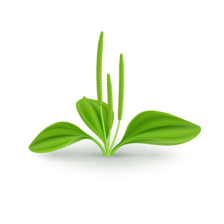 Fresh Green Leaves of Plantain (Plantago Major or Soldiers Herb) Plant for Health Benefits
