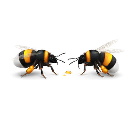 Illustration of Two Bumblebee Species