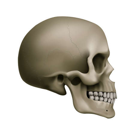 The Human Skull. Illustration for Medicine, Science or for a Game Design on White Background