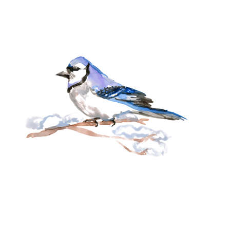 Watercolor Bird Blue Jay, Latin name - Cyanocitta cristata, on the Branch. Hand Drawn Illustration on White Backdrop