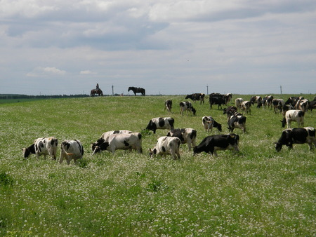 largely: Pets largely the cattle acquires weight on juicy meadows Stock Photo
