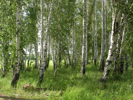 bosk: Whitetrunked birches are pleasing to the eye light and greens presenting people with mushrooms and berries