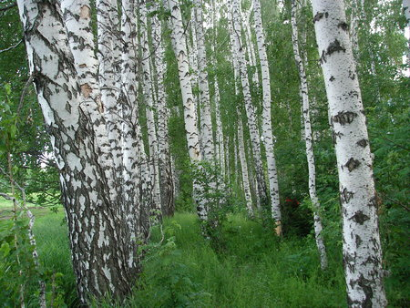 pleasing: Whitetrunked birches are pleasing to the eye light and greens presenting people with mushrooms and berries