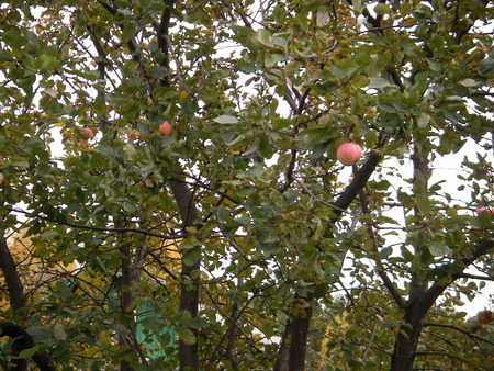 necessary: If the person needed to live only one day - it is necessary to plant an apple-tree