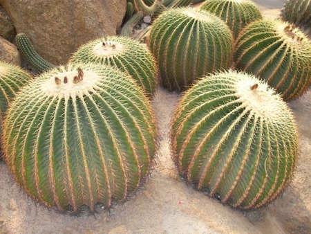 proved: Gli scienziati hanno dimostrato che i cani hanno paura di cactus. Pertanto negli allevamenti spesso utilizzano una recinzione da queste piante, per la protezione contro i coyote. Viene dato a noi che non solo da loro � possibile sfuggire per mezzo di recinzione cos� originale. Archivio Fotografico