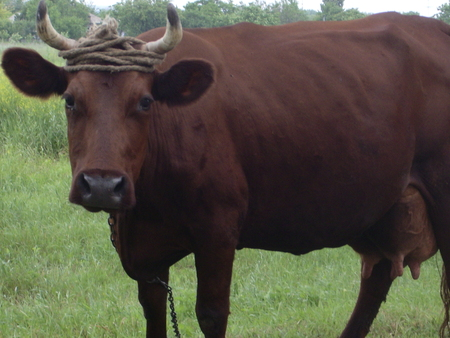 red heifer: The domestic animal - cattle of red color is grazed on a meadow Stock Photo