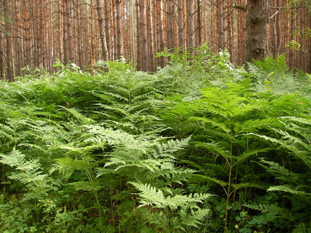 buckler: Dense high thickets of a fern with carved leaves in pine pine forest