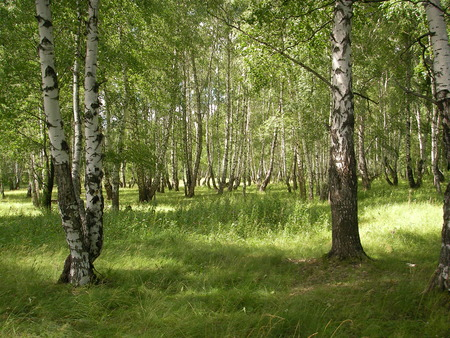 pleasing: White-trunked birches are pleasing to the eye light and greens presenting people with mushrooms and berries