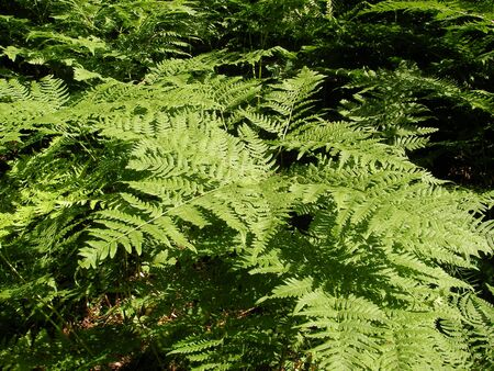 thickets: Dense high thickets of a fern with carved leaves in pine pine forest