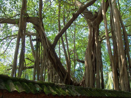 breadth: Banyan tree surprising. It grows not only up, but also in breadth from adult branches shoots, air roots which having reached the earth start separating down, take roots and over time turn into additional tree trunks. Stock Photo