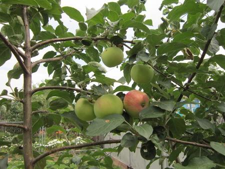 melba: El joven Yablonka con frutas krasnoboky granel crece en un jard�n en la casa Foto de archivo