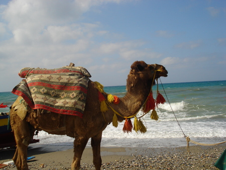 animal idiot: Camels - the large animals adapted for life in droughty regions of the world deserts, semi-deserts and steppes.