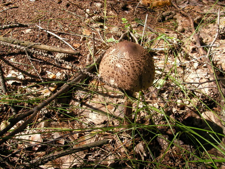 surrounding: Mushroom poisonous - a toadstool on an open place under color of the surrounding district Stock Photo