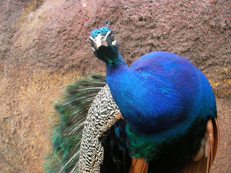 tail fan: The colourful multi-colored peacock with a tail - a fan poses in a zoo