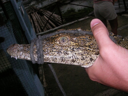 Predatory wild huge crocodiles get divorced on farms in Thailand as pets