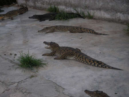 ferm: Predatory wild huge crocodiles get divorced on farms in Thailand as pets