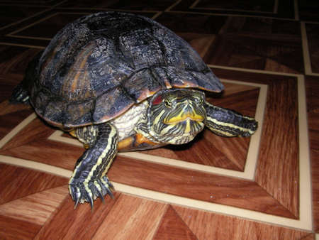land turtle: The water krasnoukhy turtle perfectly feels both in water and on the land
