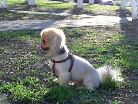 doggie: Decorative Chinese breed Pekinese doggie domestic pet Stock Photo
