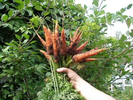 The good harvest of carrots grew on a personal plot in Podmdskovye