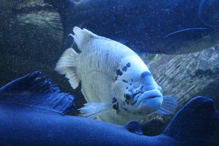 oceanarium: Sea inhabitants before eyes of visitors in an oceanarium Stock Photo