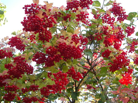 mountain cranberry: Plentiful crop of brightly red berries of a guelder-rose bitter on taste to the first frosts