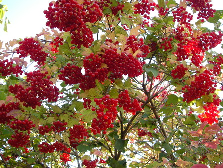 red taste: Plentiful crop of brightly red berries of a guelder-rose bitter on taste to the first frosts