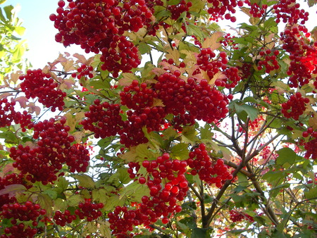 brightly: Plentiful crop of brightly red berries of a guelder-rose bitter on taste to the first frosts