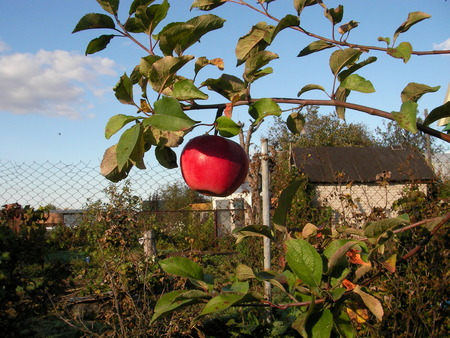 rennet: Toasted, bulk, red, big and tasty apple hangs on a branch in a garden Stock Photo
