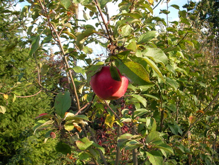 hangs: Toasted, bulk, red, big and tasty apple hangs on a branch in a garden Stock Photo