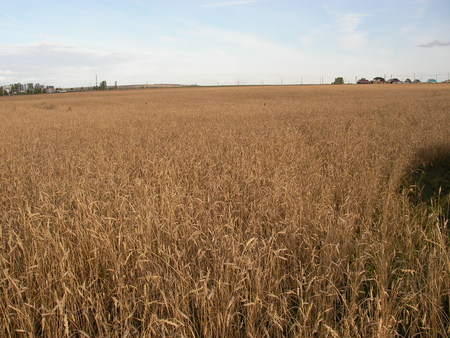 agronomics: Ripe, juicy ears of wheat are ready to harvesting