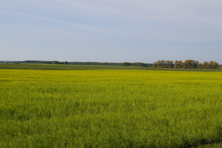 boundless: Boundless fields of the blossoming mustard look a bright zheltymina a greens background Stock Photo
