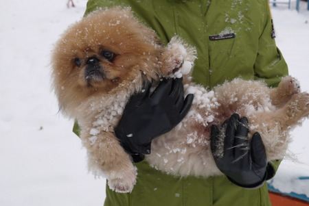 squeal: The fluffy Pekinese with pleasure walks on white snow