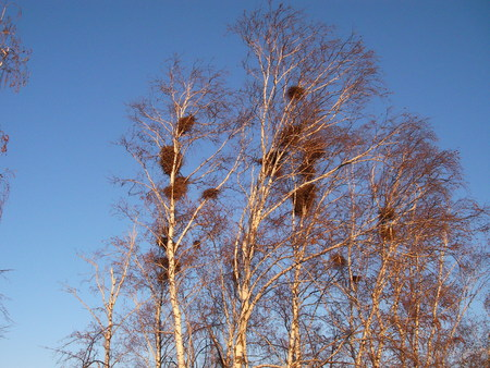 highly: Highly on birches crows constructed the whole colony of nests