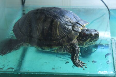 animals amphibious: Oranzhevoukhy turtle or Zheltobryukhaya a species of turtles from family of the American fresh-water turtles. Stock Photo