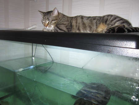 water turtle: The cat on an aquarium watches life of a water turtle