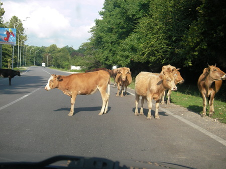 carriageway: The small herd of cows came to a carriageway on the way on a pasture