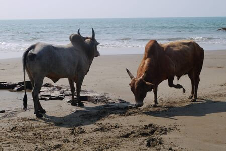 indian buffalo: Fight of buffalo s on the bank of the Indian Ocean in India.