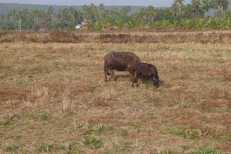 glades: Cows on a pasture with poor vegetation in hot India Stock Photo