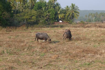 vegetation: Cows on a pasture with poor vegetation in hot India Stock Photo