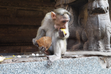 beggars: True owners in a kingdom of monkeys, in Hampi - beggars having a tail