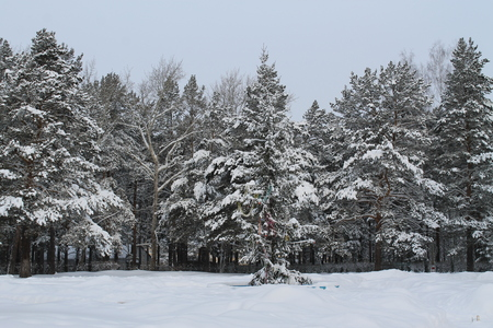 glades: the winter snow-covered pine forest in a midland of Russia Stock Photo