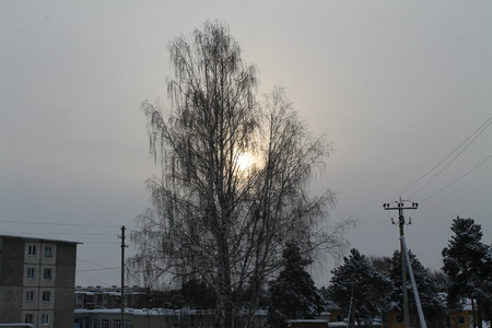 appears: the winter sun appears through birch branches