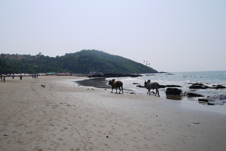 indian buffalo: Cows and buffalo s freely go and have a rest on beaches of northern Goa on the bank of the Indian Ocean Stock Photo