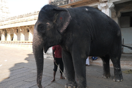 ritual elephant in Virupakshas temple in Hampi