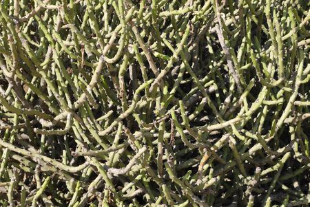 demanding: the green prickly bush which is not demanding plentiful watering