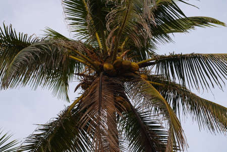 subtropics: top of a coconut palm tree against the blue sky