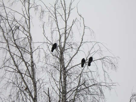 croak: Crows sit on branches of a white-trunked birch in the winter