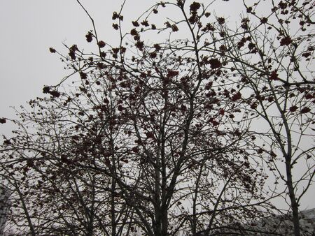 mountain ash with last years fruits against the spring sky Stock Photo