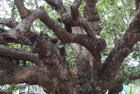 only adult: Banyan tree surprising. It grows not only up, but also in breadth - from adult branches shoots, air roots which having reached the earth start separating down, take roots and over time turn into additional tree trunks.Banyan in the Indian staff of Makhara Stock Photo